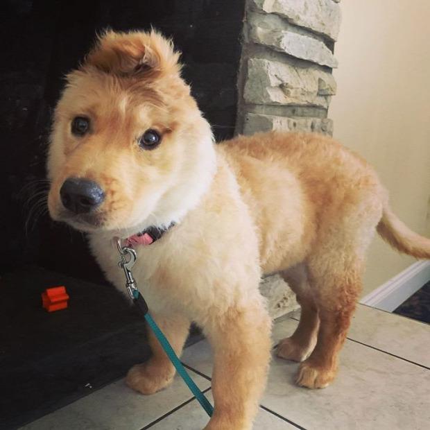 kutya Golden Retriever fül egyszarvú unikornis