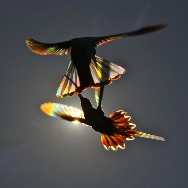 A világ érdekes kolibri szárny szivárvány