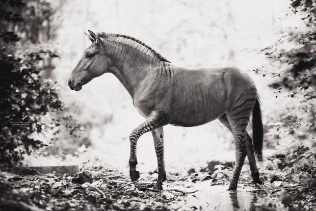 A világ érdekes zebra ló zebló