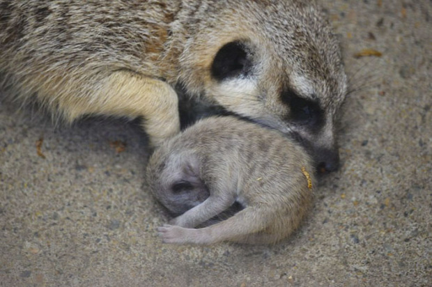A világ érdekes szurikáta kölyök újszülött