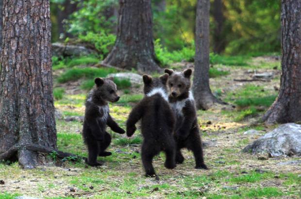 finn medve tajga erdő tisztás táncol bocs