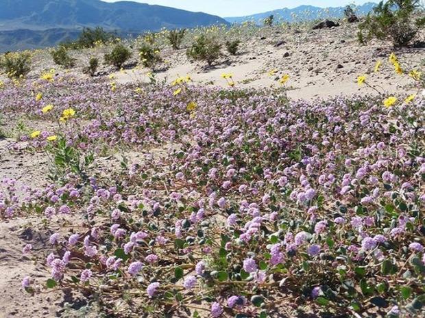 A világ érdekes USA Amerika Halál-völgye Death Valley sivatag virág