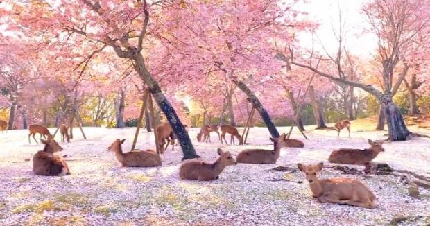 Japán cseresznyevirágzás sika szarvas esküvő