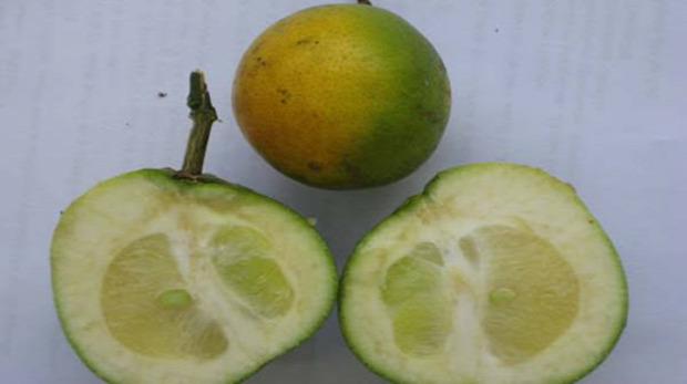 Ökokatasztrófa narancs betegség citrus