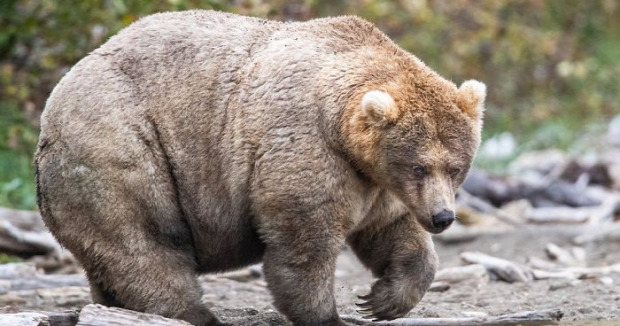 A világ érdekes medve téli álom hízás zsír lazac