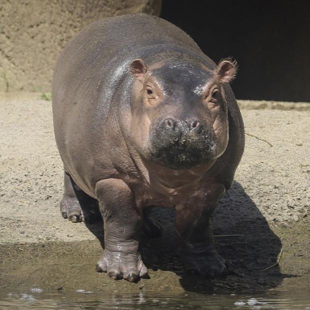 A világ érdekes állatkert lánykérés viziló bébi