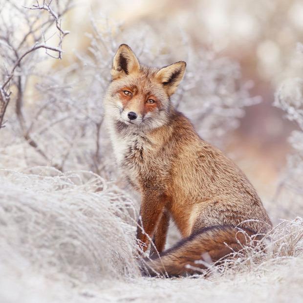 A világ érdekes  róka tél Roeselien Raimond