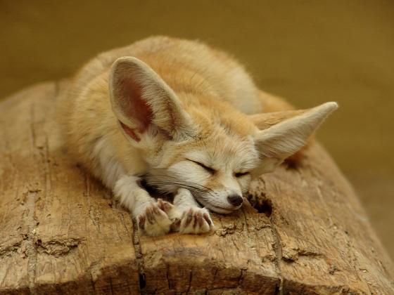 A világ érdekes róka faj Leszebb