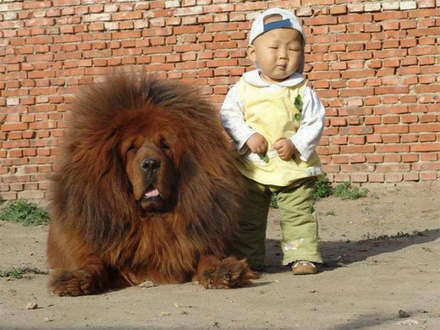 A világ érdekes tibeti masztiff