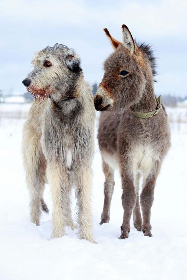 A világ érdekes ír farkas kutya farkaskutya