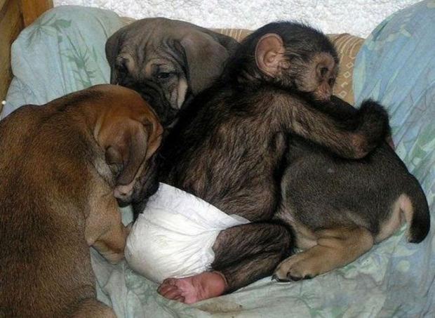 A világ érdekes csimpánz árva kutya masztiff