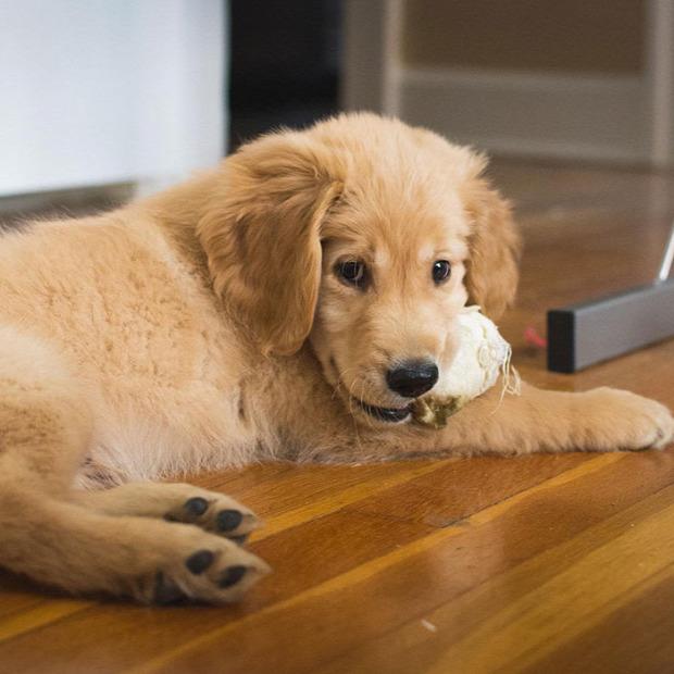 A világ érdekes kutya vak golden retriever vakvezető