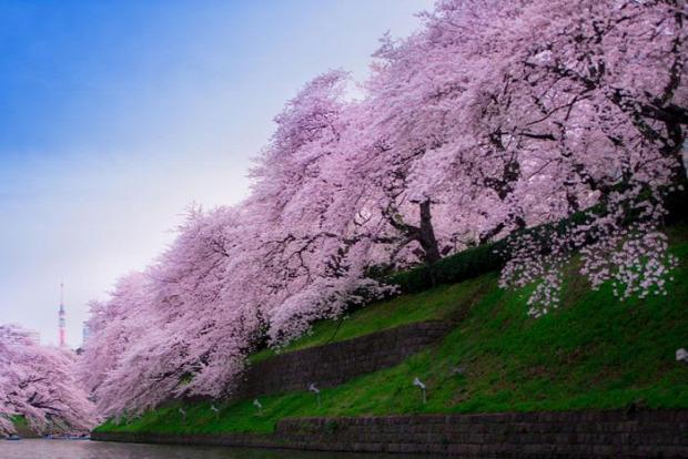 A világ érdekes Japán cseresznye virágzás