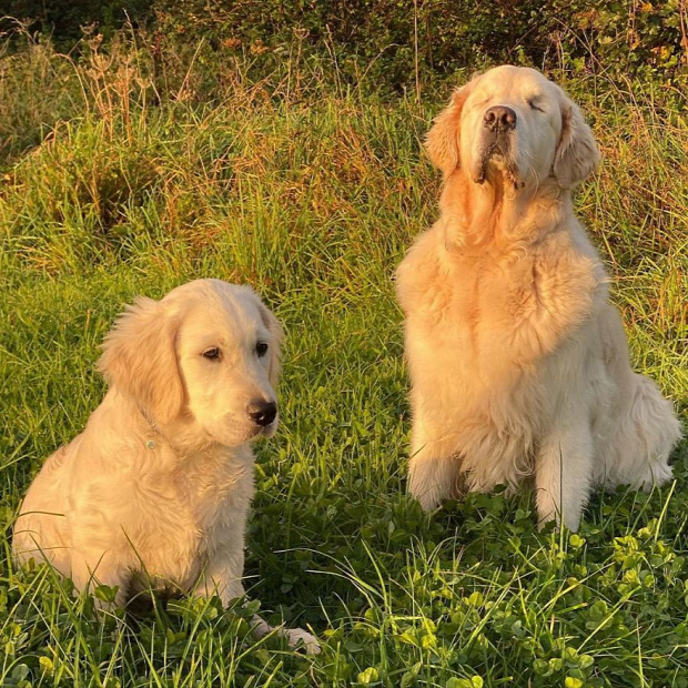 vak kutya vakvezető golden retriever