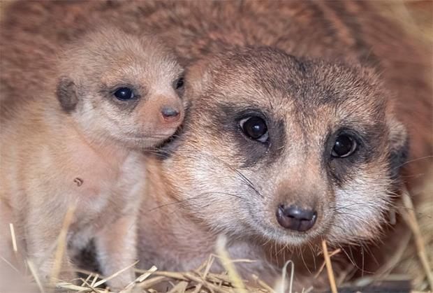 Miami állatkert szurikáta kölyök