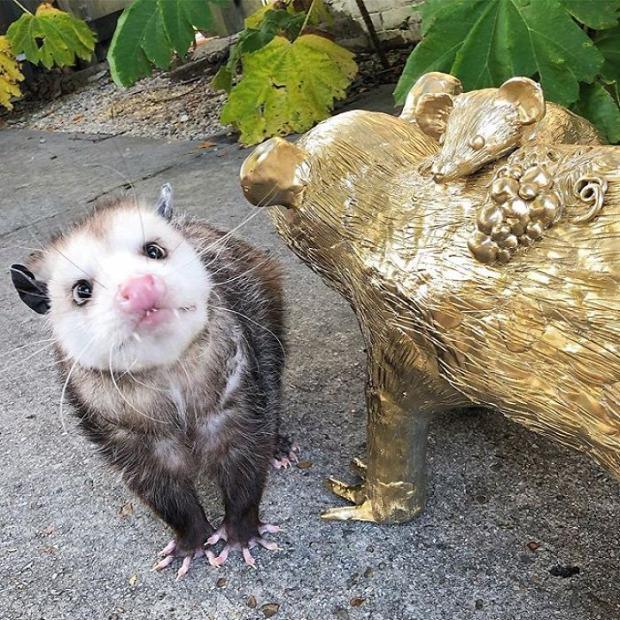A tündéri oposszum - Toochee