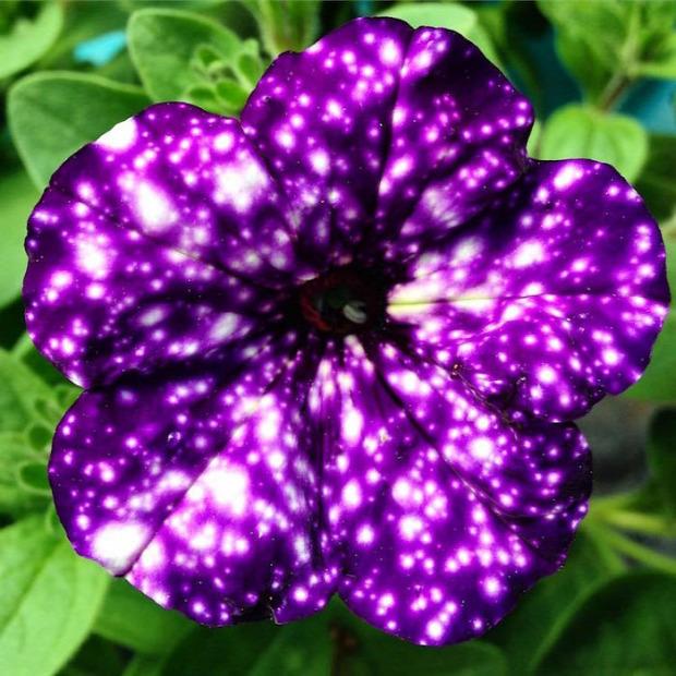 A világ érdekes virág petúnia éjszaka égbolt