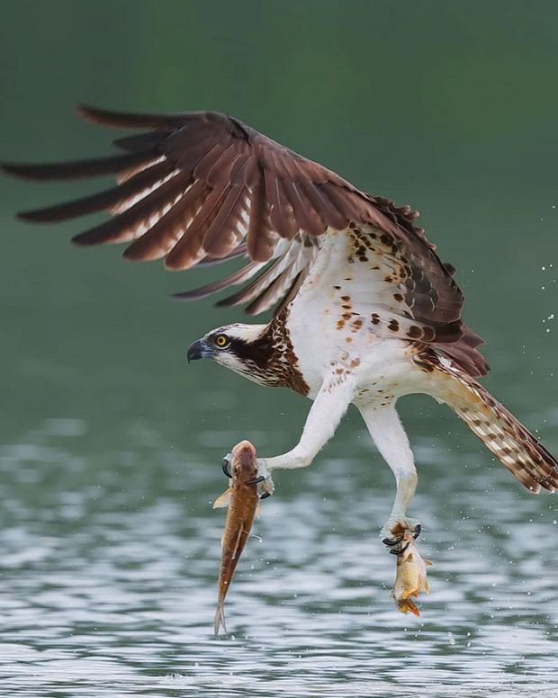halászsas ragdozó vadászat