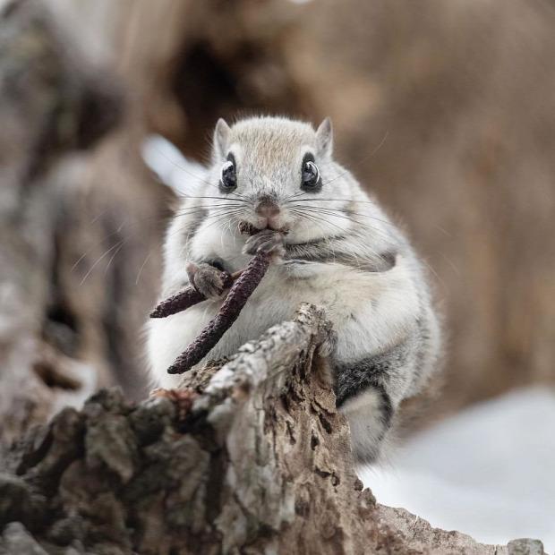 japán törpe repülő mókus