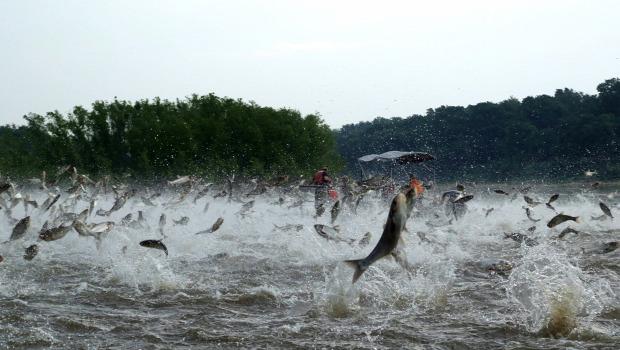 A világ érdekes ökológiai katasztrófa hal repül ázsiai ponty Mississippi