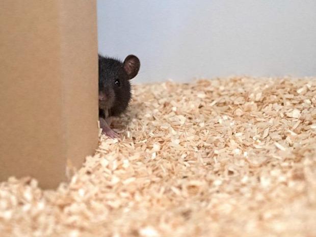 A világ érdekes patkány bújócska játék