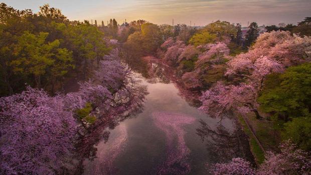 A világ érdekes Japán cseresznyefa virágzás