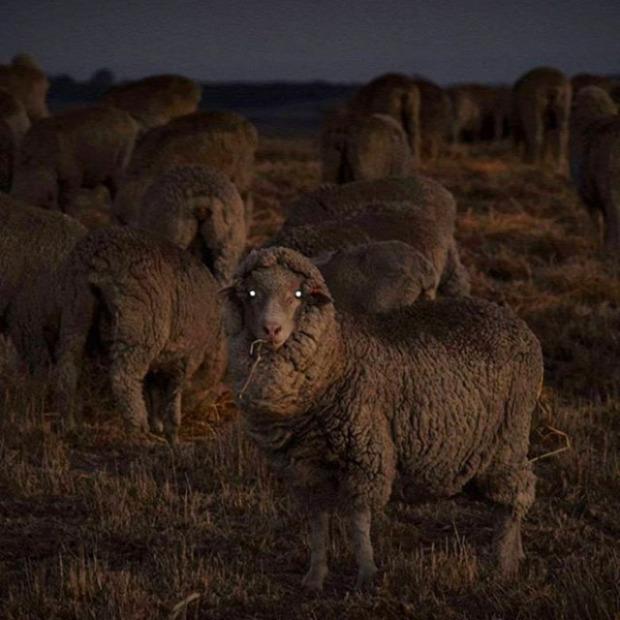 A világ érdekes bárány birka vaku éjjel