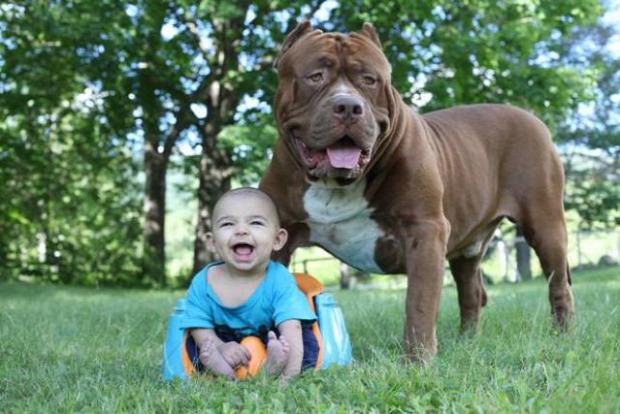 A világ érdekes legnagyobb pitbull bébiszitter