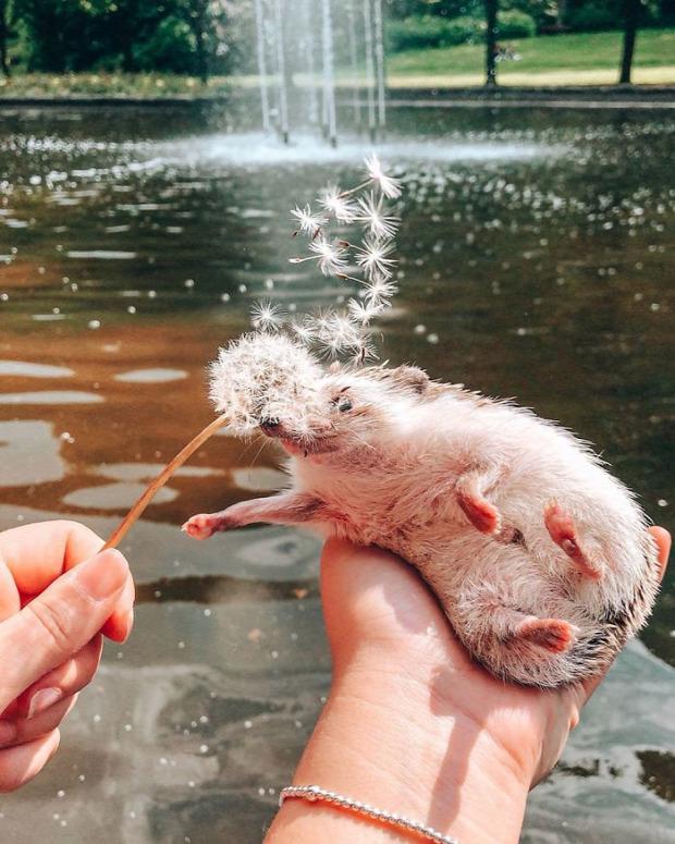 A világ érdekes Herbee sündisznó világjáró