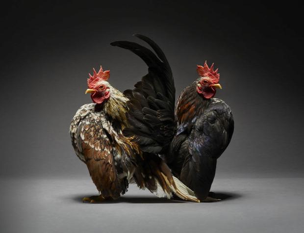 tyúk kakas madárbemutató A világ érdekes