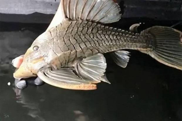 A világ érdekes akvárium hal idős öreg