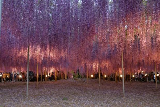 Japán lilaakác fesztivál