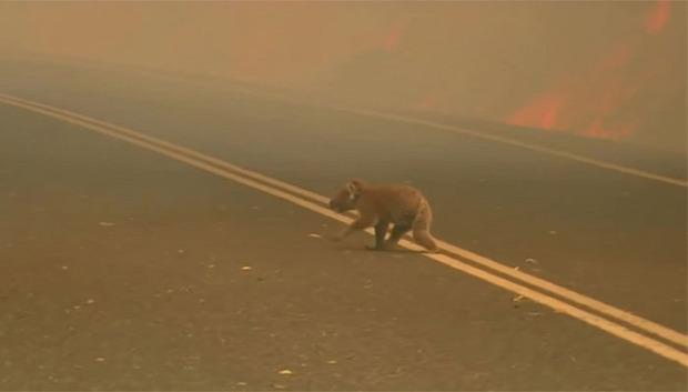 Ausztrália koala tűz