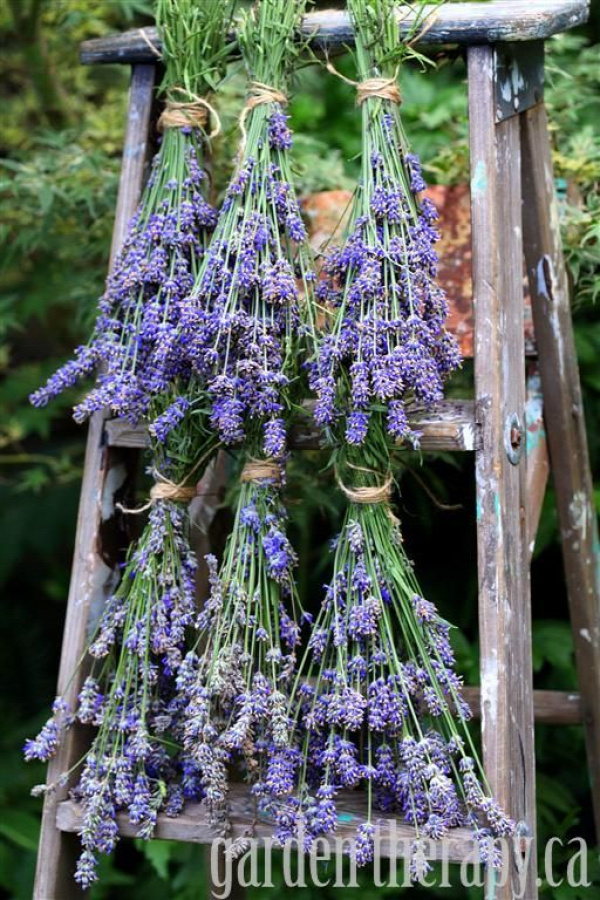 How to harvest and dry English Lavender plus project tutorials and recipes on how to use it.