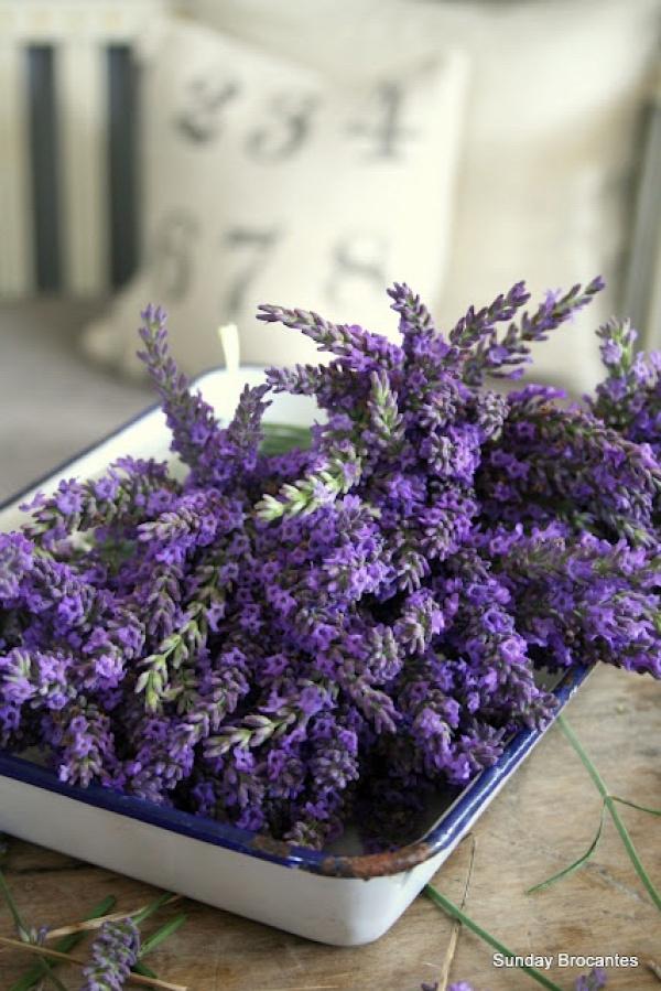 fresh cut lavender
