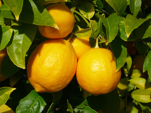 kertészkedés kert csíráztatás citrom avokádó ananász mangó citrom nevelése