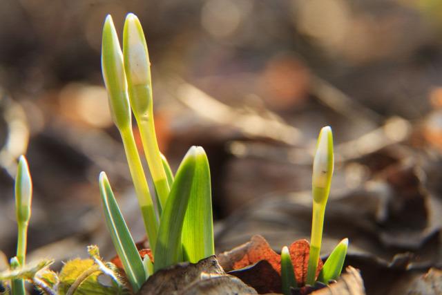 hóvirág tavasz