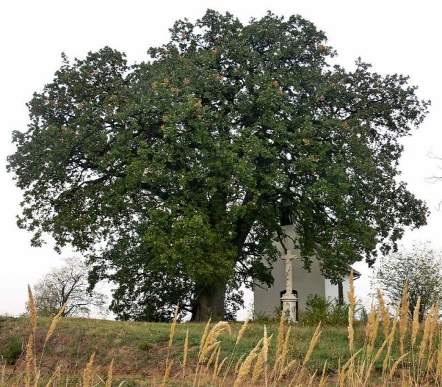 Európai év fája Bátaszék molyhos tölgy tree of the year