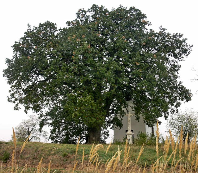 év fája molyhos tölgy Európai év fája treeoftheyear