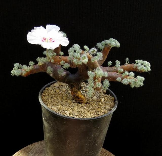szukkulens kaktusz Füvészkert kiállítás