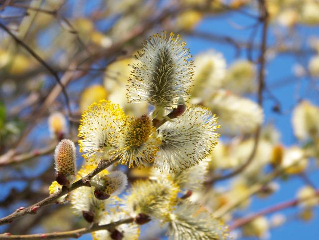 tavasz virágvasárnap villőzés kiszehajtás húsvét