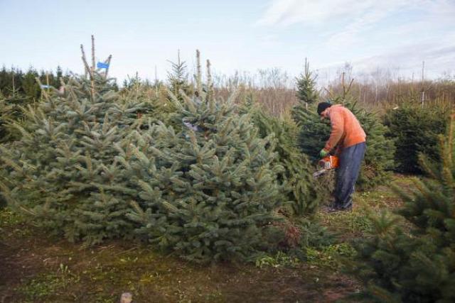 karácsony karácsonyfa fenyőfa luc duglász normand fenyőárus