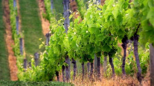 kukorica eső augusztus szőlő régi népélet naptára