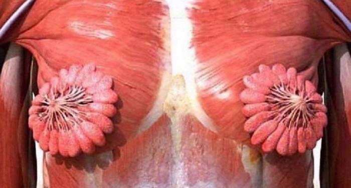 mell női mell anatómia