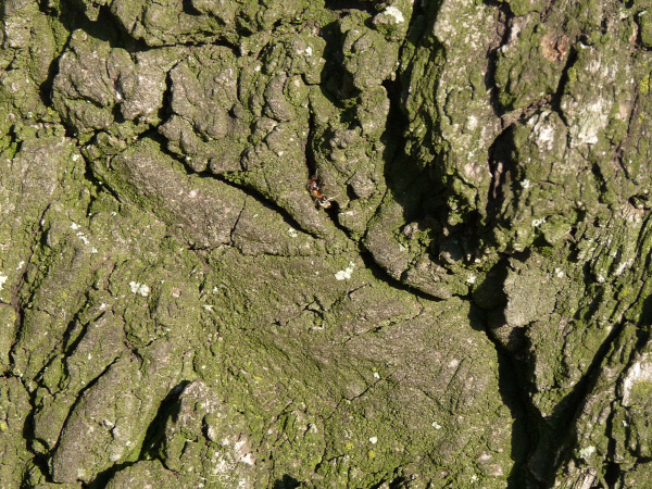 európa fája tölgy bátaszék az év fája