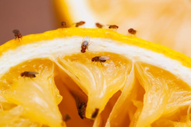 biológiai védekezés ökoháztartás muslica almaecet