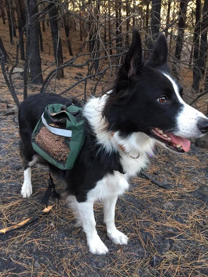 kutya természetvédelem erdő Chile erdőtűz border collie