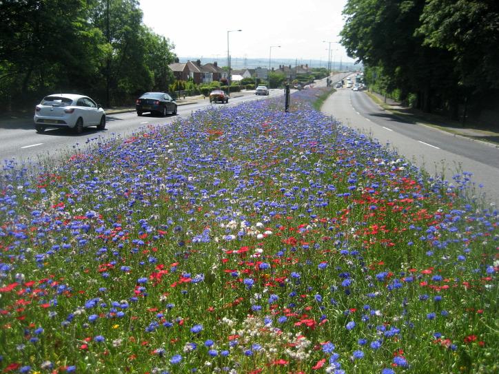 vadvirág városi rét urbanizáció beporzás biodiverzitás