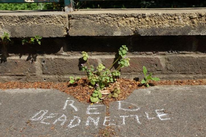gerillabotanikus városi növény gyomnövény