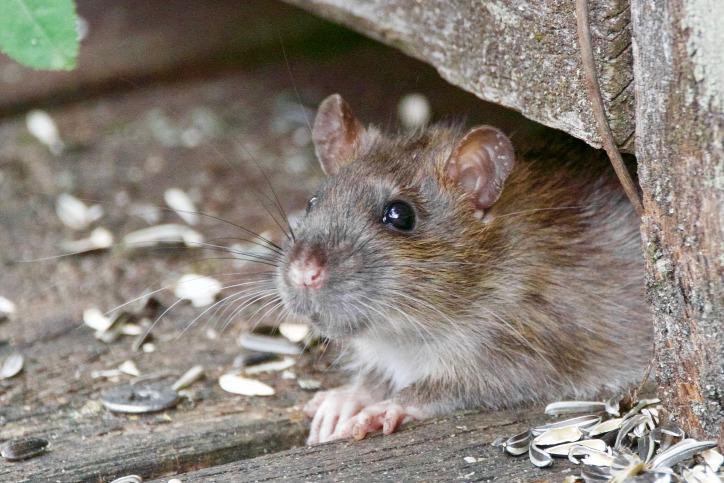 patkány urbánus élet város urbanizáció városi élet városi hősziget élelmiszerpazarlás
